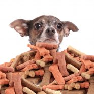 gvictoria120300008.jpg - chihuahua peeking over large mound of  dog bone shaped treats or biscuits on a white background
